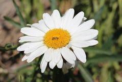 Manzanilla y abeja decorativas Fotografía de archivo libre de regalías