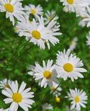 Manzanillas blancas en un día soleado fotos de archivo