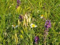 Manzanillas, espiguillas, lavanda en la hierba Foto de archivo libre de regalías