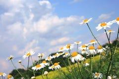 Manzanillas (manzanilla) y cielo. Fotografía de archivo libre de regalías