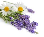 Manzanillas y flores de la lavanda aisladas en blanco Foto de archivo libre de regalías