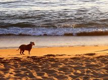 Manzanillo Beach dog. A dog enjoying Manzanillo Beach on Mexico`s Pacific coast Stock Images