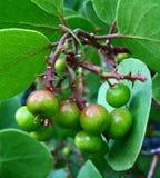 Manzanita Berries Stock Photography