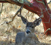 Manzanita Buck Royalty Free Stock Image