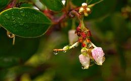 Manzanita in fioritura Fotografia Stock Libera da Diritti