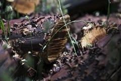 Manzanita klippte ner för lantgård andra växter Arkivbild