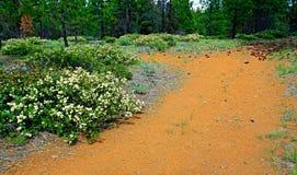 Manzanita Lane. Blooming Manzanita along FR120 west of Sisters, OR Stock Photo