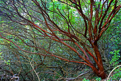Manzanita. A smooth Manzanita shrub branches only stock photos