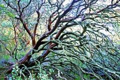 Manzanita. A smooth Manzanita shrub with moss stock photos