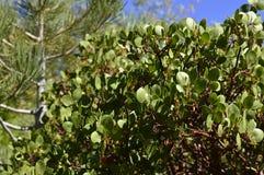 Manzanita tree Stock Photography