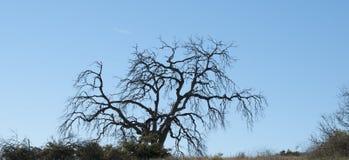 Manzanita Tree Winter Scene Stock Photos