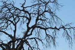 Manzanita Tree Winter Scene Royalty Free Stock Photography