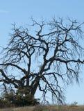 Manzanita Tree Winter Scene. Manzanita Tree on a hilltop with clear blue sky. Winter landscape in San Diego California Stock Image