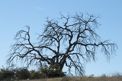 Manzanita Tree Winter Scene Stock Photography