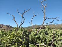 Manzanita Trees Stock Photo