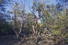 Manzanita trees Stock Images