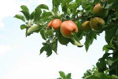 Manzano. Imagen de archivo libre de regalías