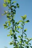 Manzano acolumnado contra el cielo azul imágenes de archivo libres de regalías