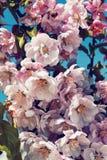 Manzano acolumnado floreciente fotos de archivo libres de regalías