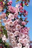 Manzano acolumnado floreciente imagenes de archivo