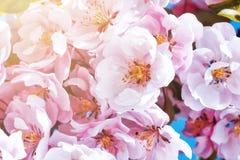 Manzano acolumnado floreciente foto de archivo libre de regalías