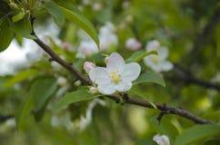 Manzano blanco Imagen de archivo