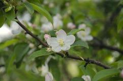 Manzano blanco Foto de archivo