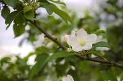 Manzano blanco Fotografía de archivo libre de regalías