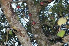 Manzano con algunas manzanas rojas e infestación fungicida en tronco imagen de archivo