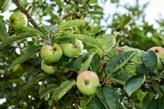 Manzano con el crecimiento de frutas en el jardín foto de archivo