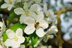 Manzano con la abeja que recoge el néctar de un fondo floral de la primavera flor-natural Foto de archivo