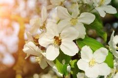 Manzano con la abeja que recoge el néctar de un fondo floral de la primavera flor-natural Fotos de archivo