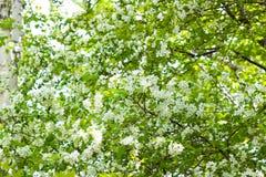 Manzano Con las flores fotografía de archivo