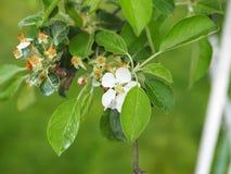 Manzano con las flores blancas imagen de archivo libre de regalías