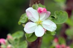 Manzano de cangrejo en la plena floraci?n Todas las ramas se derraman con los brotes y las flores blancas y rosadas frescas Alegr fotos de archivo libres de regalías