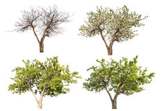 Manzano de cuatro estaciones aislado en blanco Imágenes de archivo libres de regalías