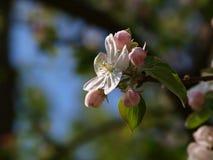 Manzano de la flor fotos de archivo