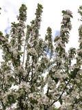 Manzano de la primavera Fotografía de archivo libre de regalías
