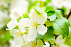 Manzano del flor Foto de archivo libre de regalías