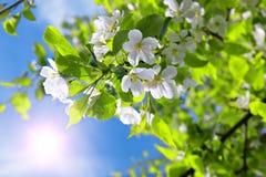 Manzano del flor de la ramificación y cielo azul con el sol Fotos de archivo libres de regalías