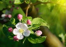 Manzano del flor en un jardín de la primavera en la luz del sol (fondos - Fotos de archivo