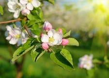 Manzano del flor en un jardín de la primavera en la luz del sol (fondos - Imagen de archivo