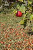 Manzano ecológico Fotos de archivo