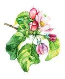 Manzano en blossomwatercolor Ilustración del Vector