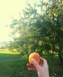 Manzano en campo verde con Apple en la mano foto de archivo