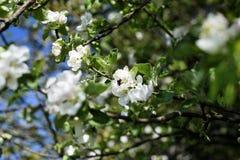 Manzano en el flor, abeja de la miel que recoge el néctar de una flor Jardín en una estación de verano Fotografía de archivo