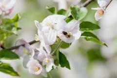 Manzano en flor Fotografía de archivo libre de regalías
