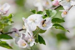 Manzano en flor Imagen de archivo libre de regalías