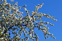 Manzano en flor Fotos de archivo libres de regalías
