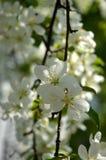 Manzano En la floración Imagen de archivo